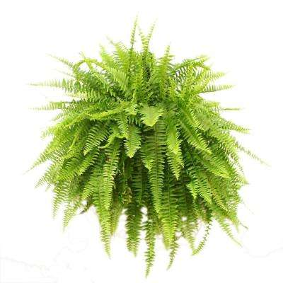Boston Fern in 10 in. Hanging Basket