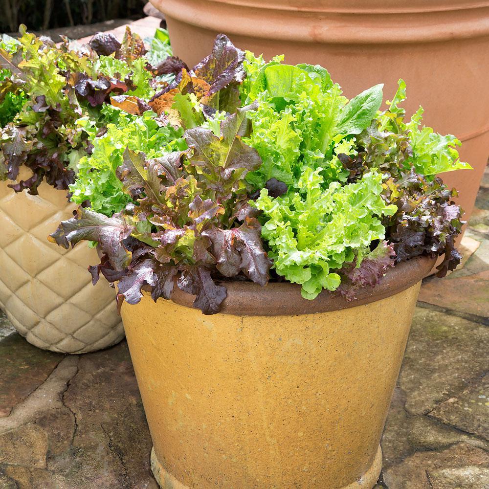 Bonnie Plants 2.32 Qt. Salad Mix- Gourmet