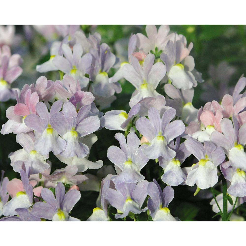 Opal Innocence (Nemesia) Live Plant,Lavender Flowers, 4.25 in. Grande, 4-pack