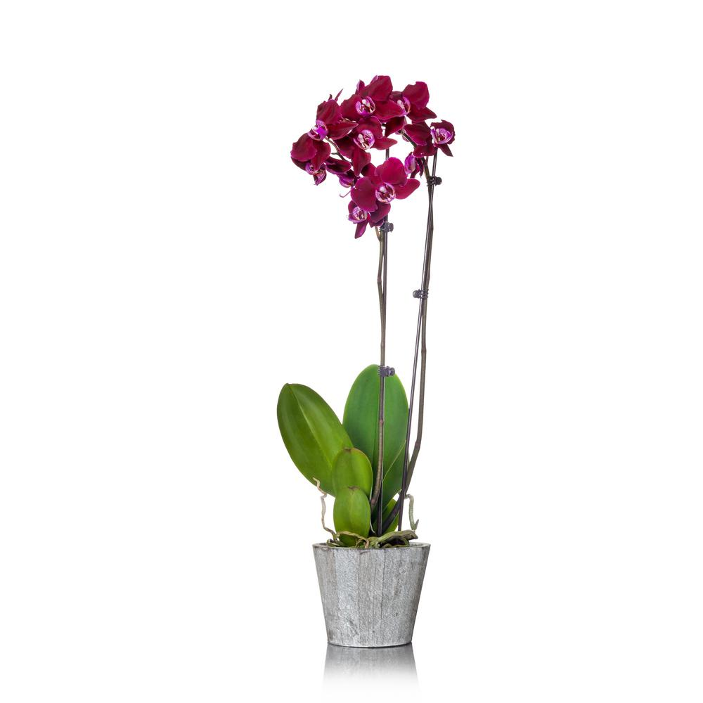 Just Add Ice Orchids 5 in. Orchid in Ceramic Deco Pot
