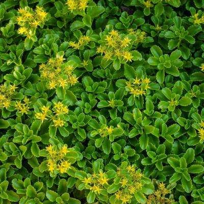3 in. Pot Golden Creeping Sedum Live Perennial Plant Groundcover with Yellow Flowers with Green Foliage