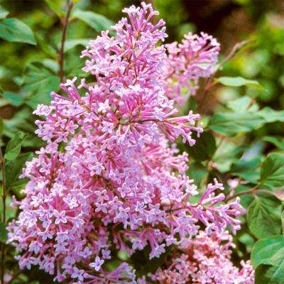 4 in. Pot Josee Reblooming Lilac (Syringa) Green Foliage Live Deciduous Plant with Lavender-Pink Blooms