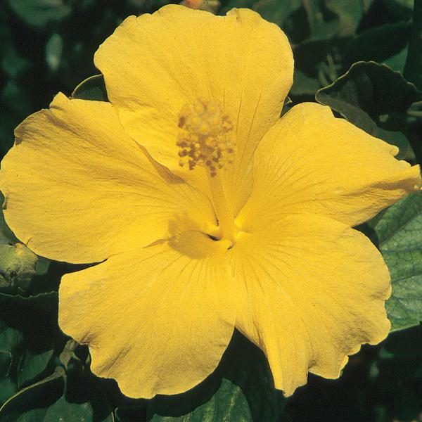Unbranded 3 Gal. Hibiscus Shrub with Yellow Flowers #10 ...