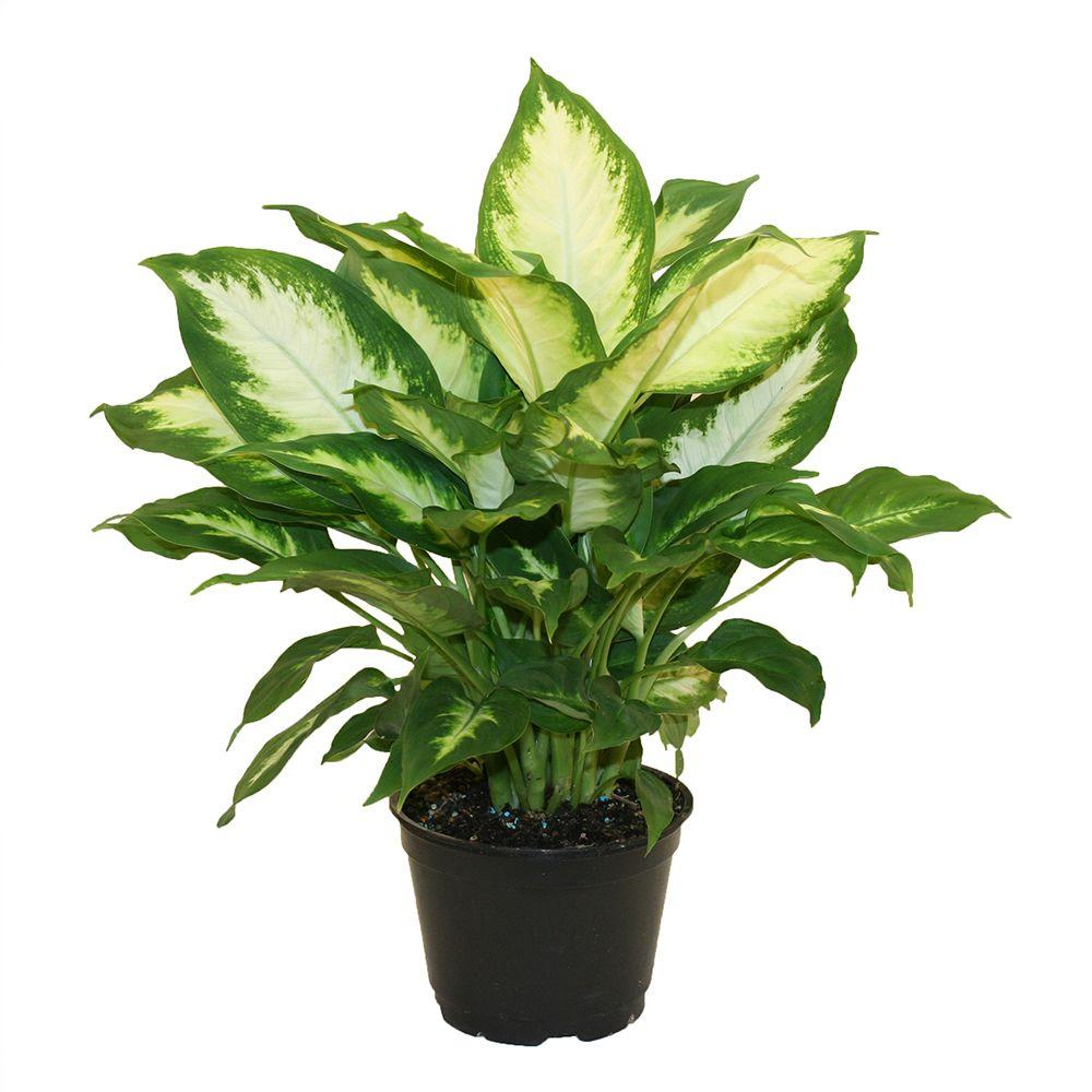 Costa Farms Dieffenbachia Camille In 6 In Grower Pot 6camille The Home Depot