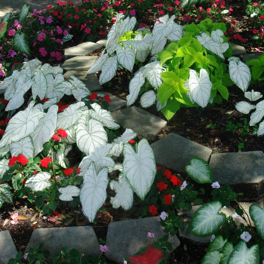 4 in. Florida Moonlight White Caladium Plant (4-Piece)