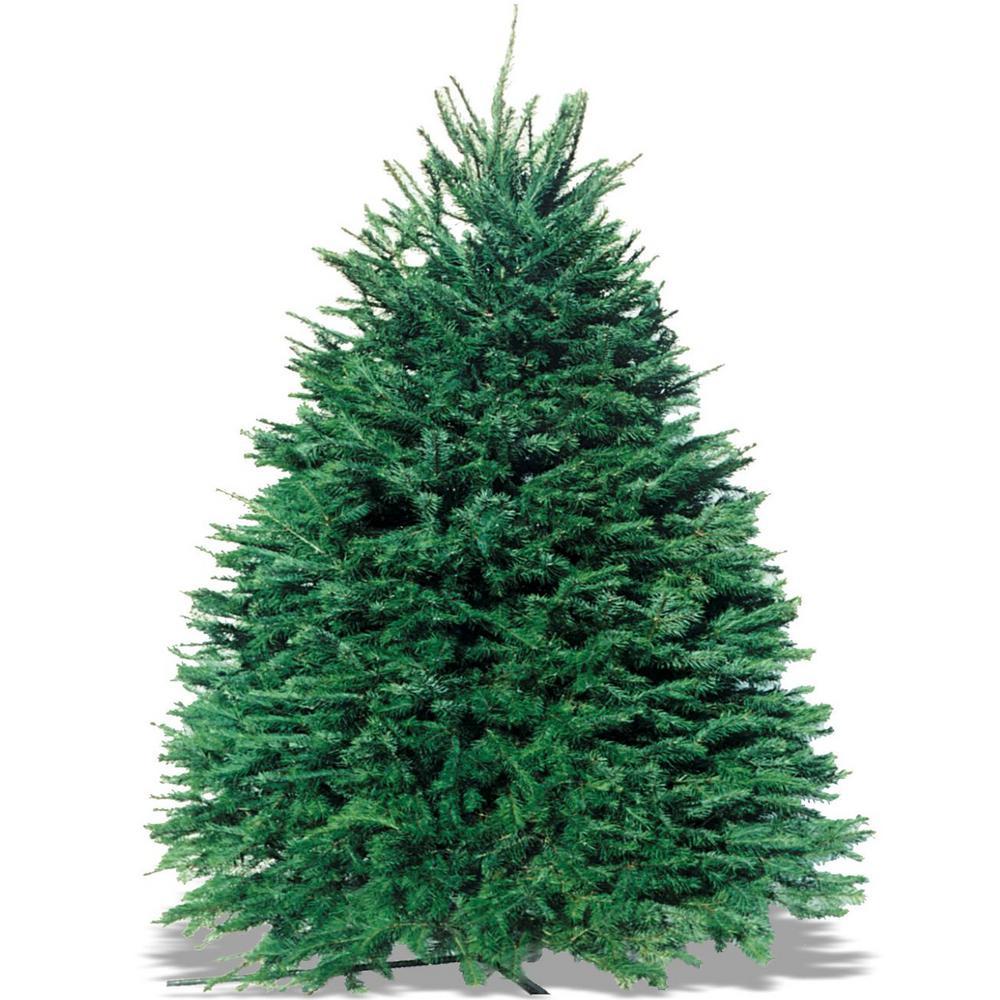 7 ft. to 8 ft. Pseudotsuga Douglas Fir Christmas Tree