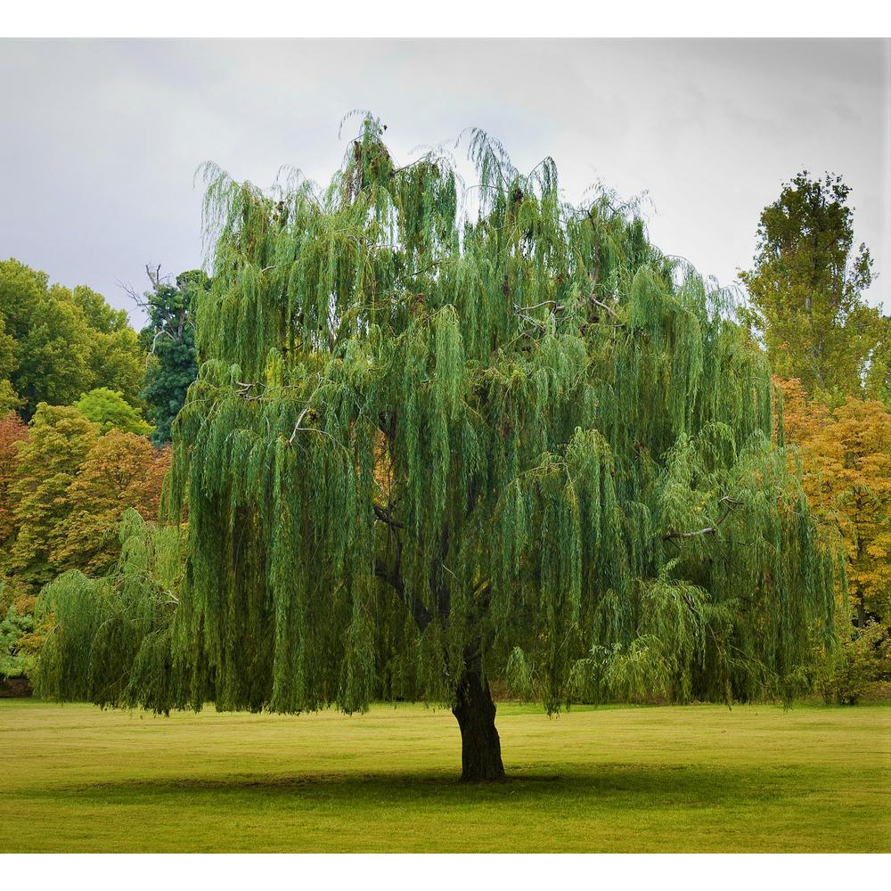 Willow Tree Trees Plants Garden Flowers The Home Depot