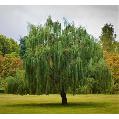 Bare Root, 3 ft. to 4 ft. T Green Weeping Willow Tree