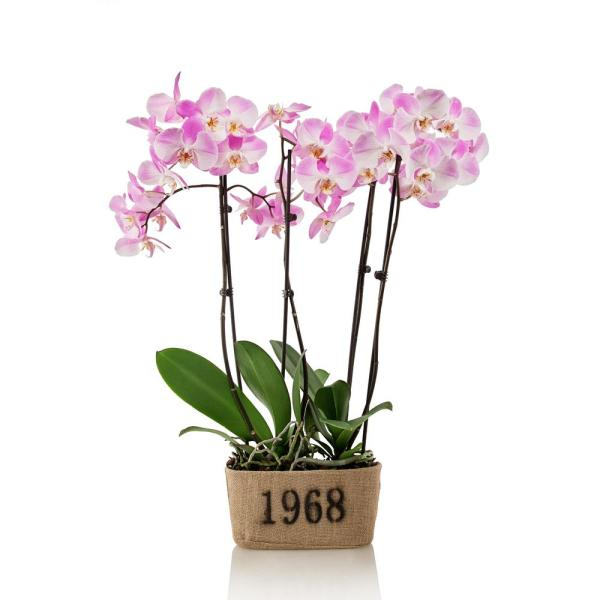 Pink 10 in. Rustic Orchid Duo Plant in Burlap Pot (4-Stems)