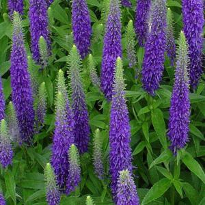 Onlineplantcenter 1 Gal Royal Candles Speedwell Plant