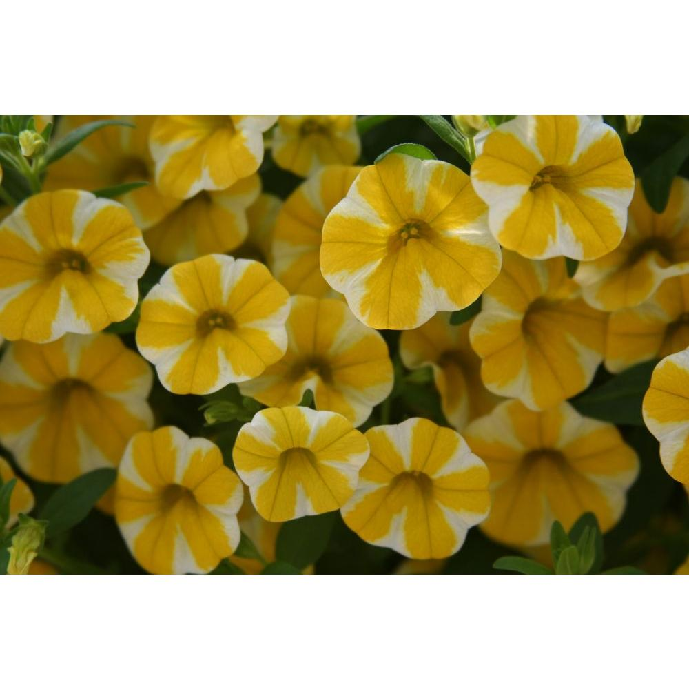 Proven Winners Superbells Lemon Slice Calibrachoa Live Plant