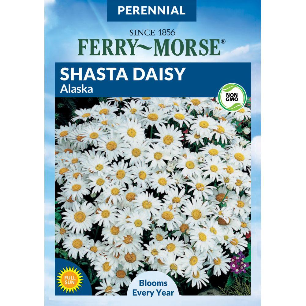 Shasta Daisy Alaska Seed