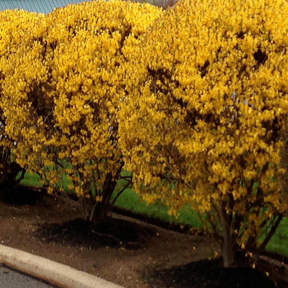 Onlineplantcenter 3 Gal Lynwood Golden Forsythia Flowering Shrub