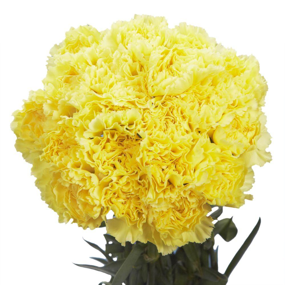 Globalrose Fresh Yellow Carnations (200 Stems)