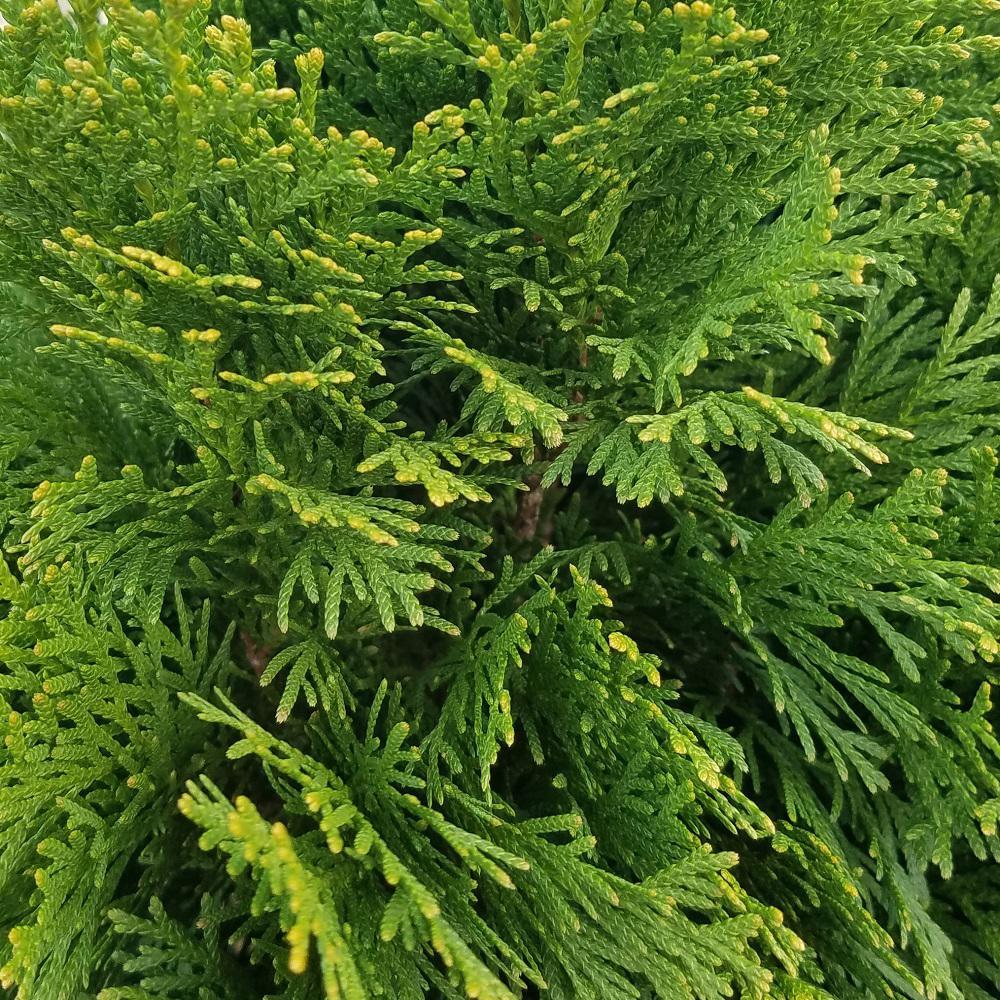 3 Gal. Emerald Green Arborvitae(Thuja) Live Evergreen Shrub, Green Foliage