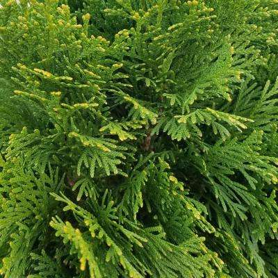 2.5 Qt. Emerald Green Arborvitae(Thuja) Live Evergreen Shrub, Green Foliage