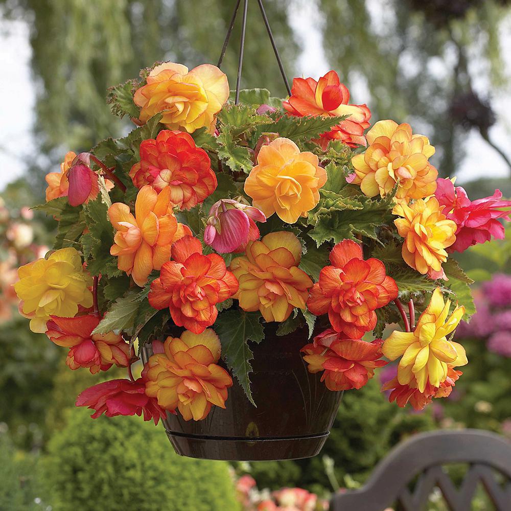 Van Zyverden Hanging Basket Begonias Golden Balcony Bulbs Set Of