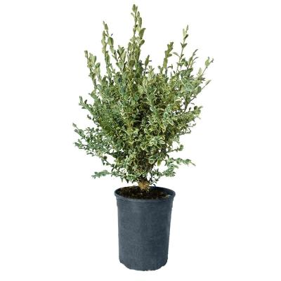 1 Gal. Variegated Boxwood with Green and Creamy White Foliage