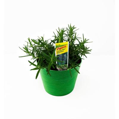 1.5 Qt. Herb Plant Rosemary in 6 In. Deco Pot