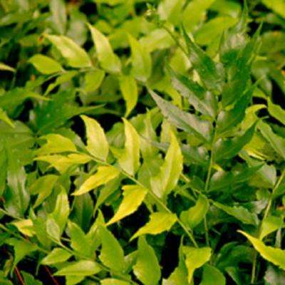 2.5 Qt. Holly Fern, Live Evergreen Plant, Emerald Green Foliage