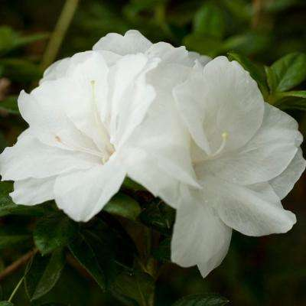 2 Gal. Autumn Moonlight Encore Azalea Shrub with Crisp White Semi-double Reblooming Flowers