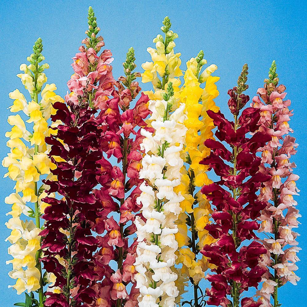 Snapdragon Rocket Hybrid Flowering Seed Mixture (100 Seed Packet)