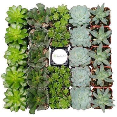 2 in. Blue/Green Collection Succulent (Collection of 100)