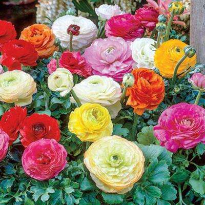 Ranunculus Mix Persian Buttercup Bulbs (100-Pack)
