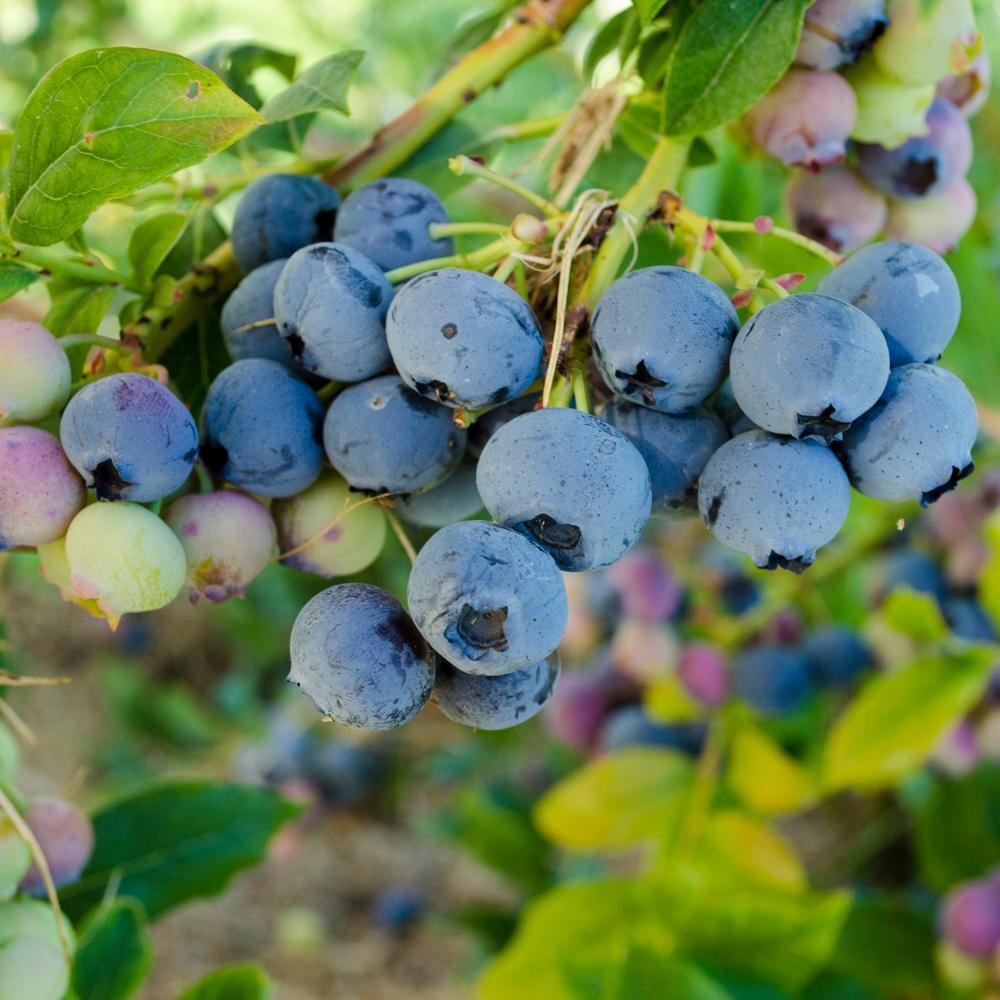 2.50 Qt. Pot Bluecrop Blueberry (Vaccinium), Live Potted Fruiting Plant (1-Pack)