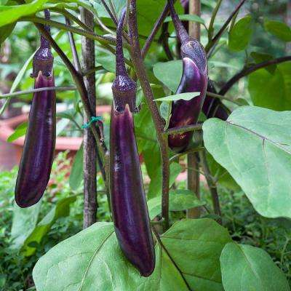 4.5 in. Ichiban Eggplant