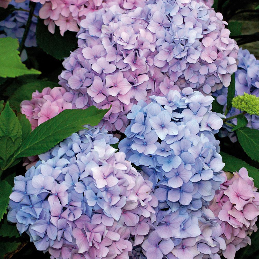 Hydrangea Nikko Blue Root Stock (1-Set)