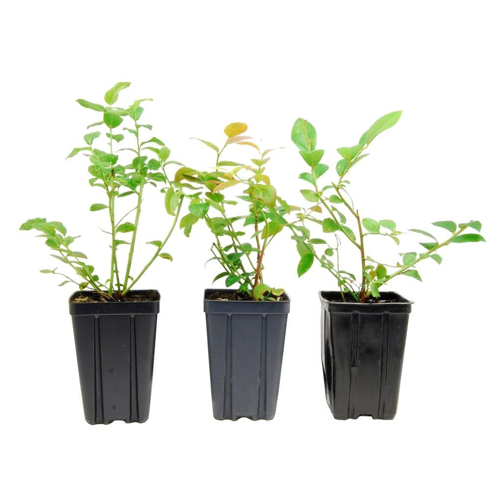 Sweet Berry Selections Northern Blueberry Fruit Bearing Potted Plant Variety (3 Pack)