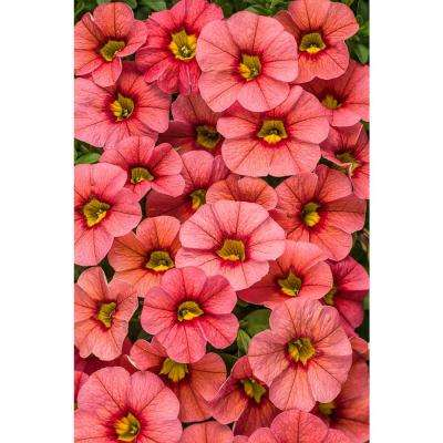 Pink annuals garden plants flowers the home depot superbells coralina calibrachoa live plant coral pink flowers mightylinksfo