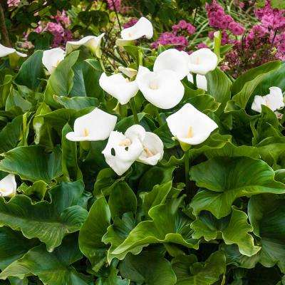 White Flowers Aethiopica Calla Lily Bulbs (3-Pack)