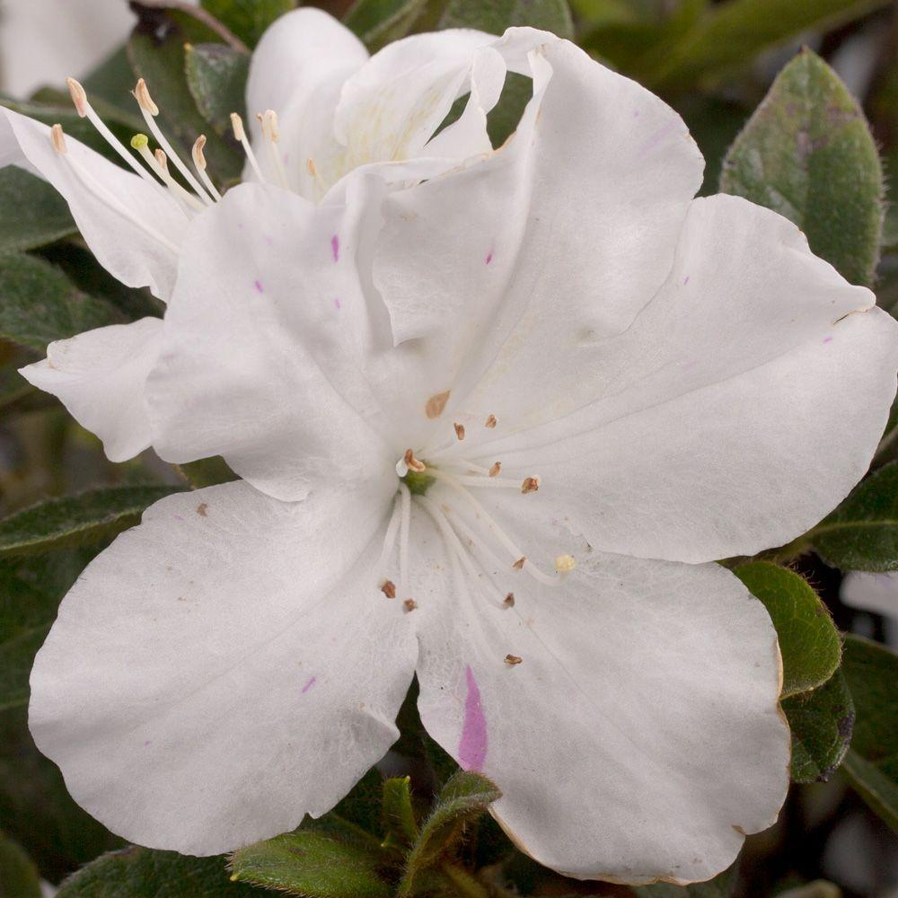 Encore Azalea 3 Gal. Autumn Lily - Multi-Season Re-Blooming Compact Evergreen Shrub with White Blooms
