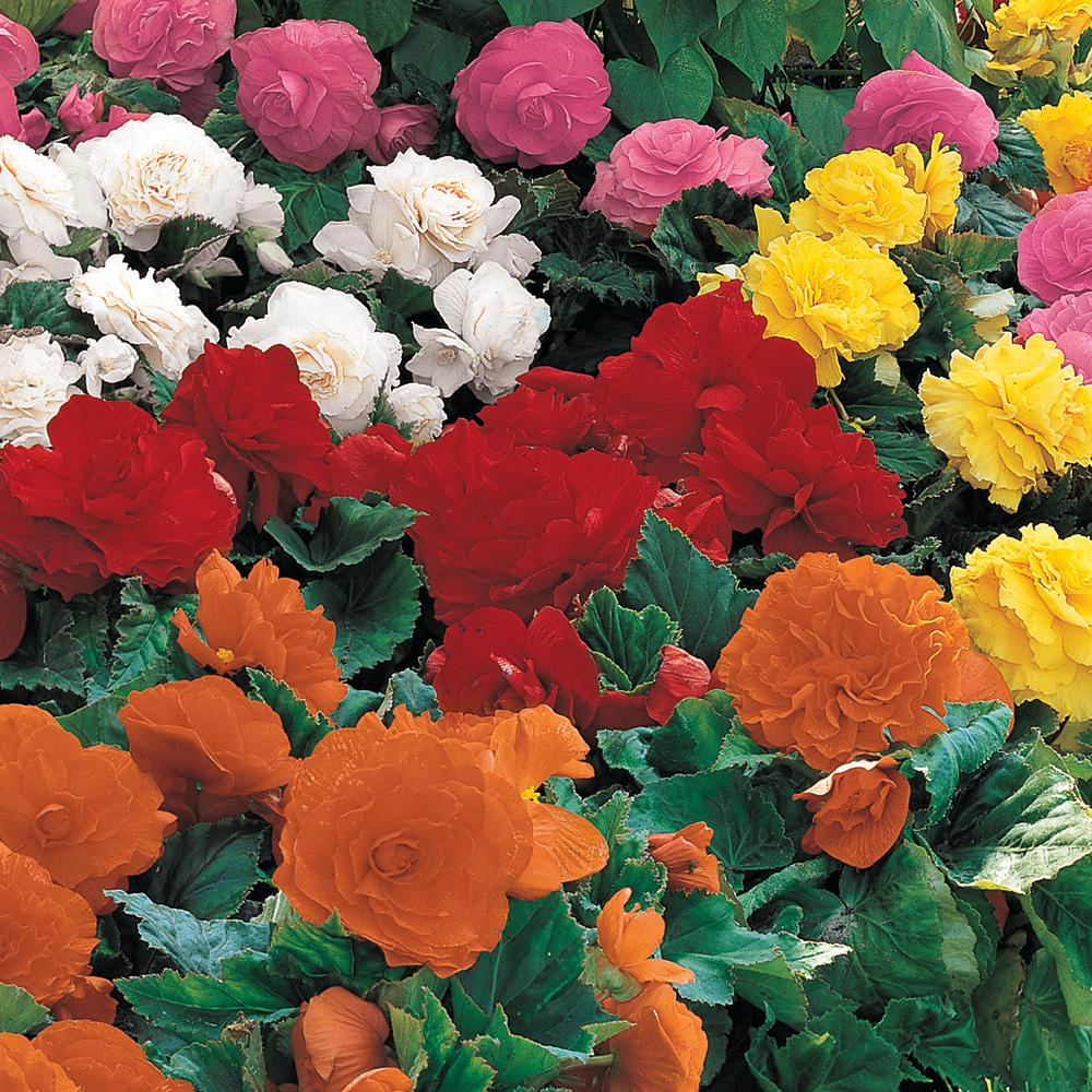 Breck S Non Stop Begonia Mixed Bulbs 5 Pack 01571 The Home Depot