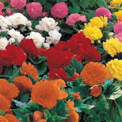 Non-Stop Begonia Mixed Bulbs (5-Pack)