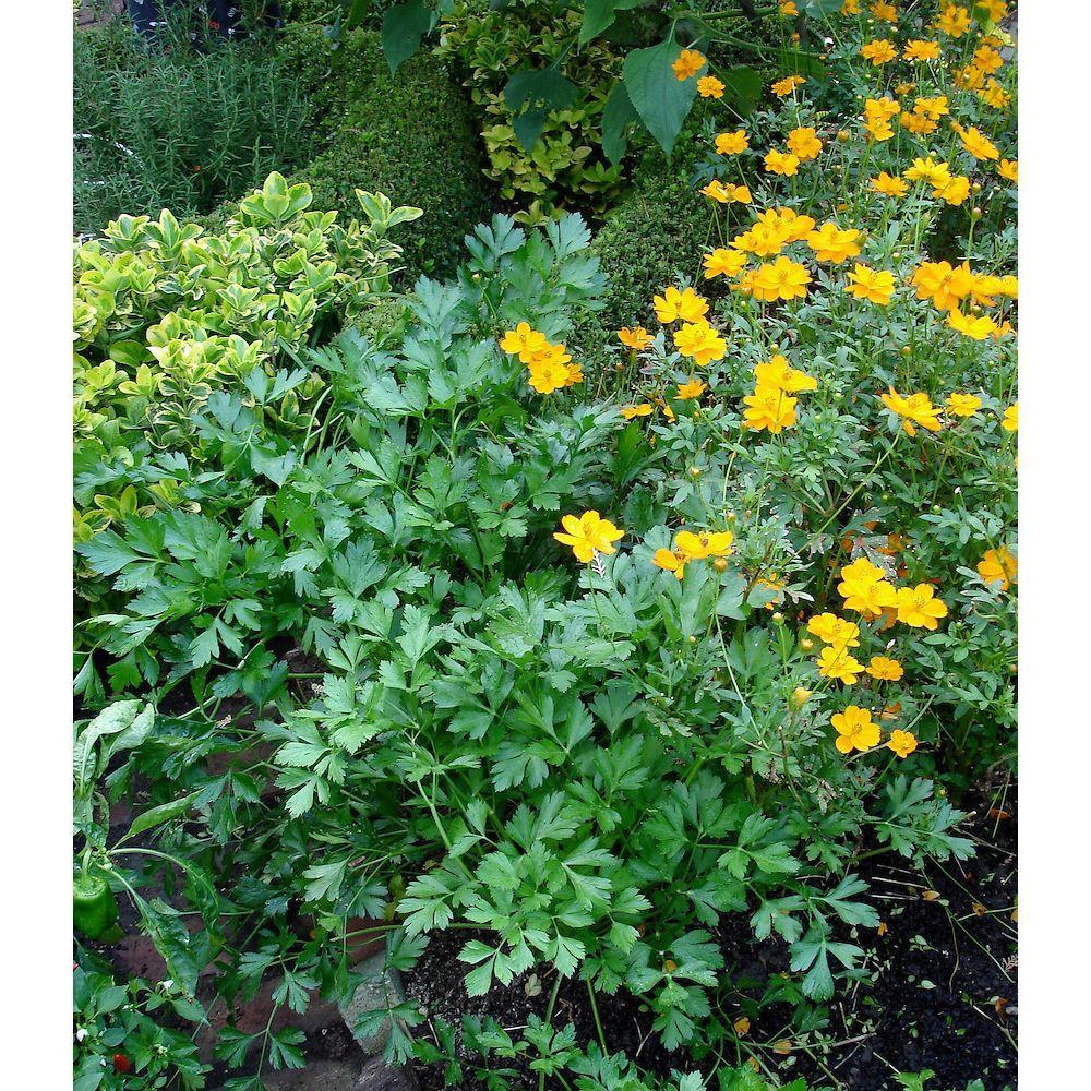 Bonnie Plants 4 in. 14.6 oz. Organic Flat Parsley