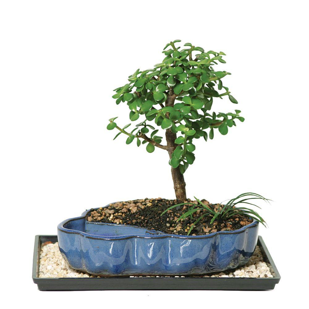 BRUSSEL'S BONSAI Dwarf Jade Bonsai in Water Pot
