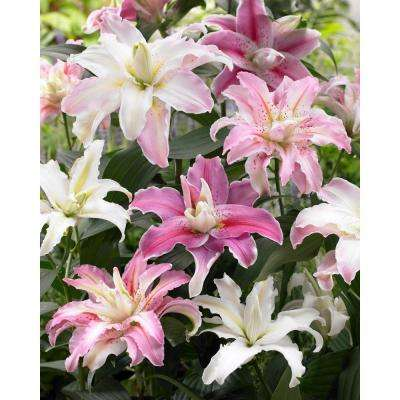 Double Flowering Fragrant Cut Flower Rose-Lily Bulbs Blend (6-Pack)