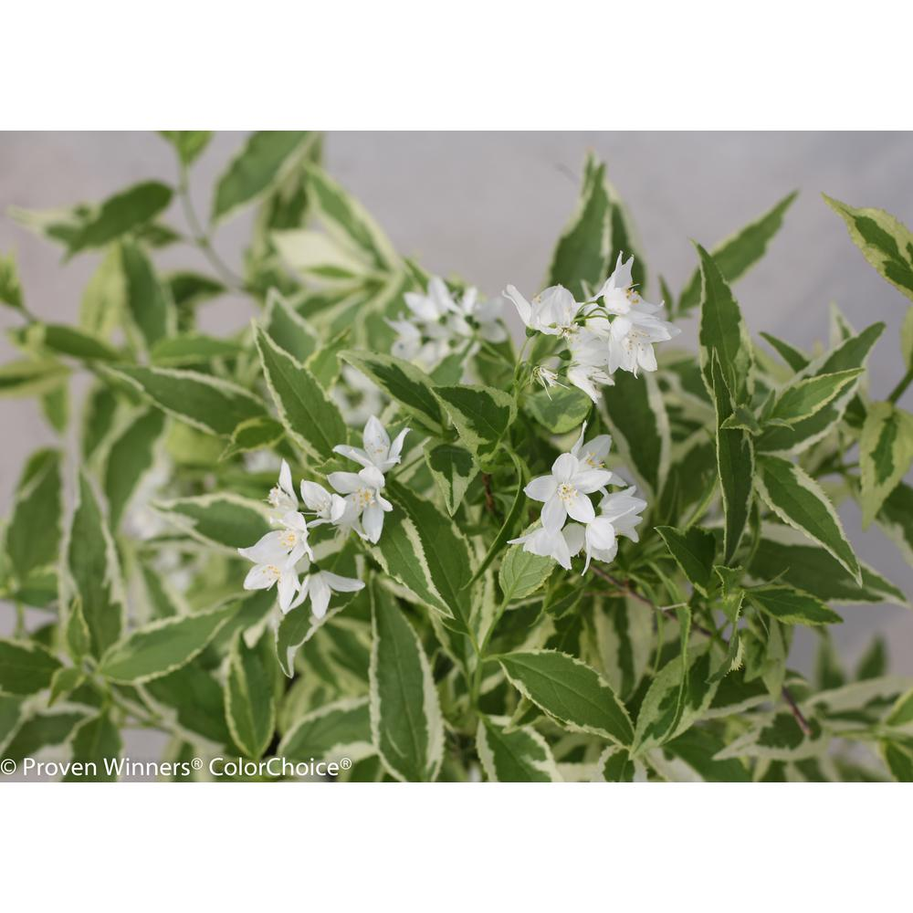 Proven Winners 45 In Qt Creme Fraiche Deutzia Live Shrub White