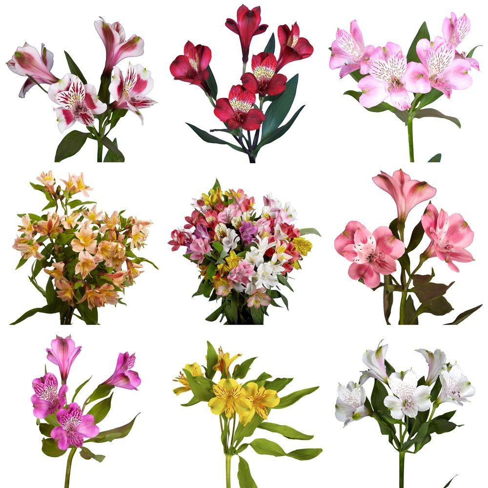 Fresh Alstroemeria Flowers (80 Stems - 320 Blooms)