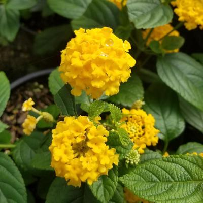 2.5 qt. Golden Yellow Pot of Gold Little Lucky Lantana, Live Perennial/Annual Plant with Reblooming Flowers