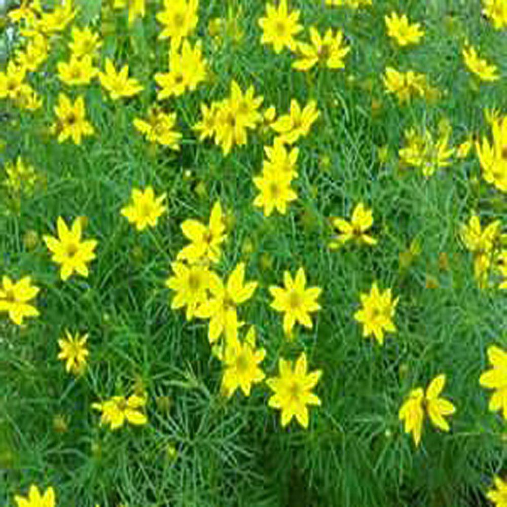 Yellow perennials garden plants flowers the home depot 1 gal zagreb threadleaf tickseed plant mightylinksfo