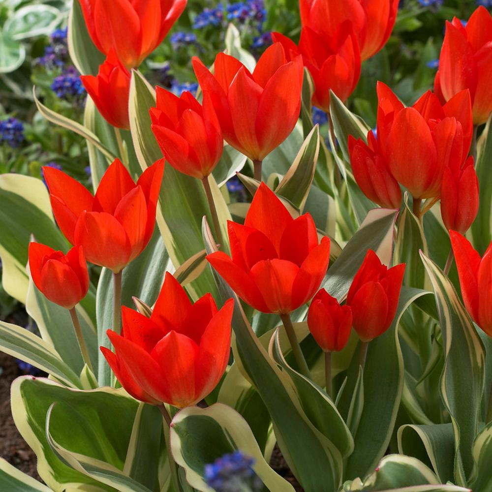 Tulips Bulbs Multi-Flowering Praestans Unicum (Set of 12)
