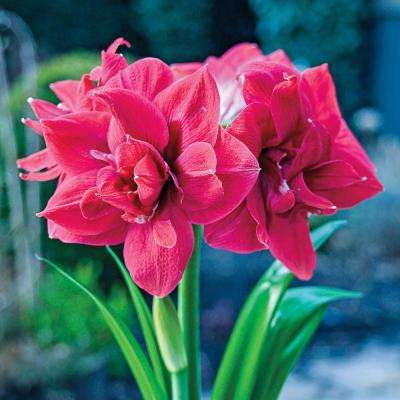 Sweet Nymph Double Amaryllis (Hippeastrum) Bulbs (3-Pack)