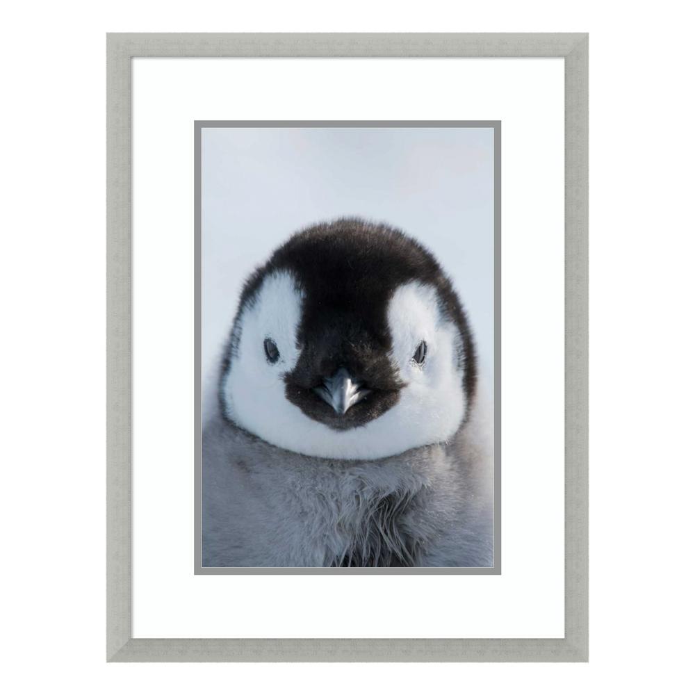 """Emperor Penguin chick, Prydz Bay, eastern Antarctica"" by Tui De Roy Framed Wall Art"