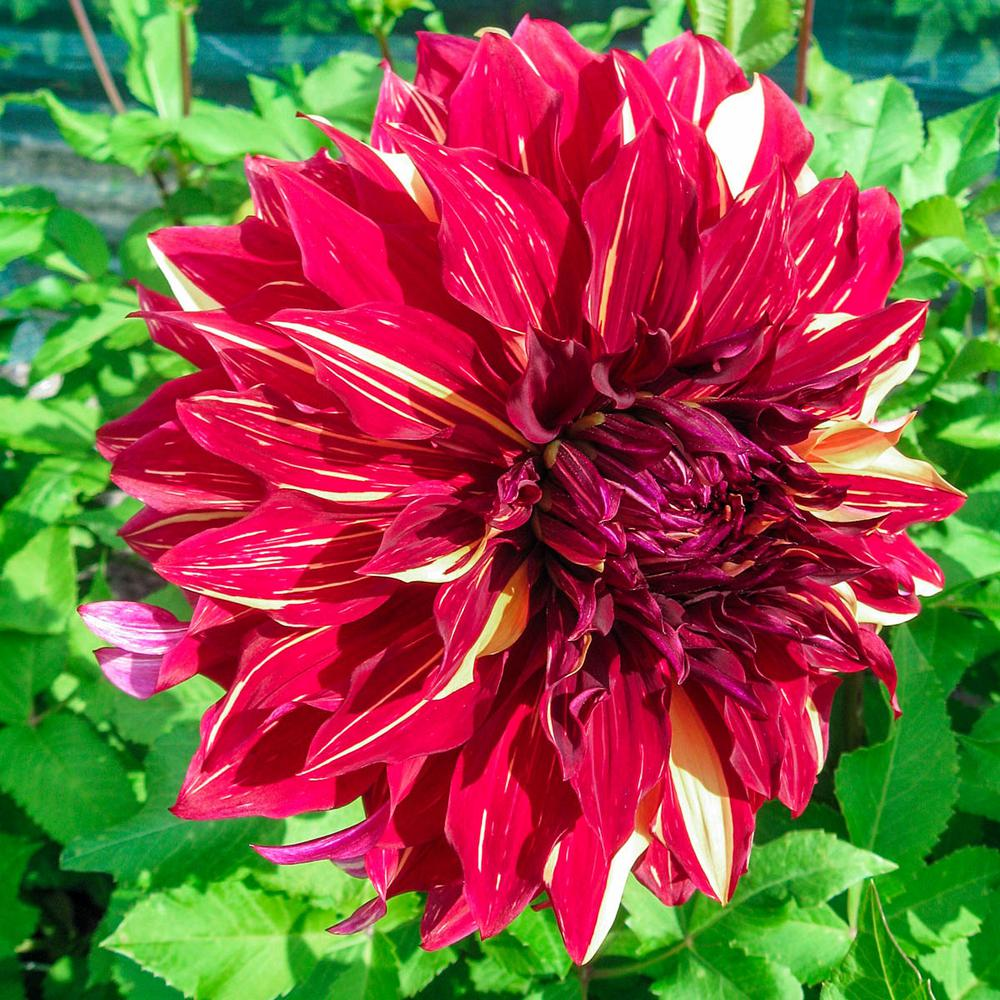 Breck's Red and Yellow Flowers Bohemian Spartacus Dinnerplate Dahlia Bulb (1-Pack)