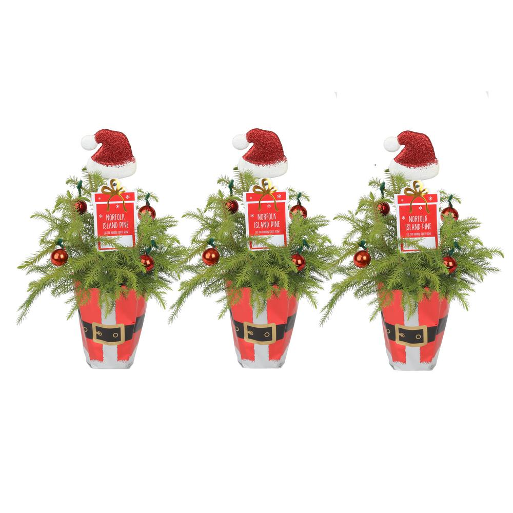 Costa Farms Fresh Norfolk Island Pine in 4 in. Grower Pot with Christmas Wrap and Topper (3-Pack)
