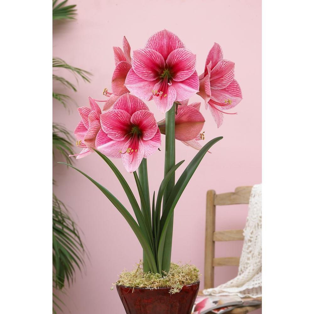 Bloomsz 2628 Cm Amaryllis Purple Rain 08043 The Home Depot